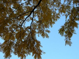 Yellow leaves against a blue sky.